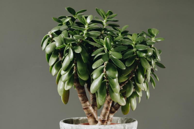 jade plant, houseplants, low maintenance plants, in house plants, plants, low maintenance houseplants