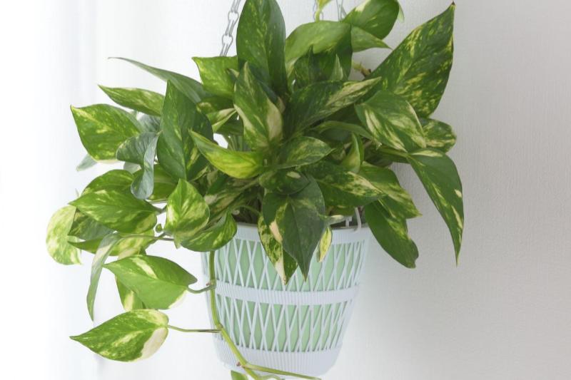 pathos, houseplants, low maintenance plants, in house plants, plants, low maintenance houseplants